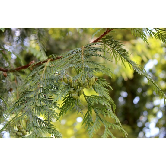 Arborvitae Arborele  Thuja plicata